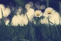 Картинка трава, блики, ромашки, Цветы