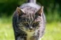 Картинка взгляд, фон, кошак, котяра, котэ