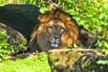Картинка кошка, трава, морда, тень, лев