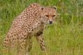 Картинка трава, цветы, хищник, гепард, дикая кошка