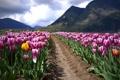 Картинка поле, пейзаж, горы, тюльпаны