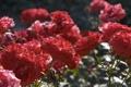 Картинка свет, цветы, блики, стебли, розы, лепестки, красные