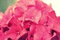 Картинка цветок, макро, розовая, гортензия, соцветие