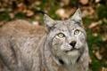 Картинка head, lynx, fur gray