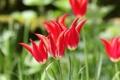 Картинка природа, лепестки, сад, луг, тюльпаны