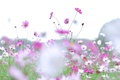 Картинка поле, небо, растение, луг, космея