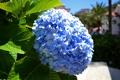Картинка фото, Цветы, Голубой, Крупным планом, Гортензия