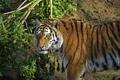 Картинка кошка, тигр, куст, амурский