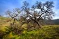 Картинка природа, дерево, холмы, дуб, кривое