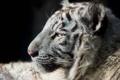 Картинка морда, хищник, профиль, мех, белый тигр, детеныш, дикая кошка