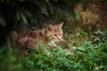 Картинка лес, трава, дикая кошка
