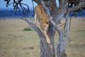Картинка дикая кошка, львица, дерево