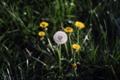 Картинка трава, одуванчик, весна