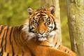 Картинка морда, тигр, лежит, недовольный