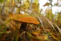 Картинка трава, гриб, подосиновик, боке