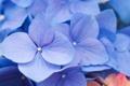 Картинка цветок, соцветия, сиреневые, гортензия