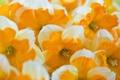 Картинка макро, цветы, Oranje boven