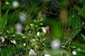 Картинка капли, макро, цветы, роса, паутина, паук
