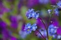 Картинка макро, природа, стебель, цветочки, синие