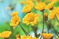 Картинка лепестки, хризантемы, жёлтые