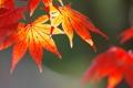 Картинка осень, листья, природа, клен