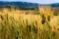 Картинка пшеница, поле, природа, холмы, колосья