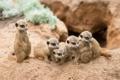 Картинка песок, сурикаты, семейство, детёныши