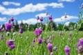 Картинка облака, трава, небо, луг, поле, цветы