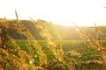 Картинка поле, лето, солнце, лучи, свет, природа, колоски