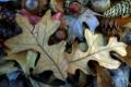 Картинка осень, лист, орех, шишка, плод, желудь