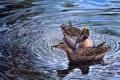 Картинка вода, утки, арт, парочка, Harold Roe