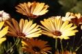 Картинка желтый, солнечный, ромашки, обои