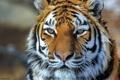 Картинка морда, полоски, тигр, амурский