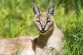 Картинка язык, кошка, трава, солнце, каракал, степная рысь, ©Tambako The Jaguar