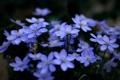 Картинка растения, цветы, синие, макро, голубые