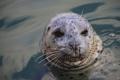 Картинка усы, морда, вода, тюлень