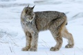Картинка снег, природа, Canada Lynx