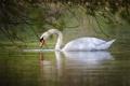Картинка белый, вода, отражение, лебедь