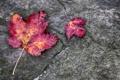 Картинка осень, листья, макро, камень, багрянец
