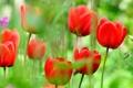 Картинка природа, лепестки, луг, тюльпаны