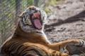 Картинка тигр, хищник, пасть, клыки, дикая кошка, зевает, зоопарк