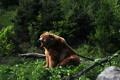 Картинка трава, медведь, мишка, зевает