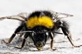 Картинка УСИКИ, пчела, ФОН, белый, насекомое, крылья, ОКРАСКА
