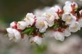Картинка деревья, цветы, цветение, персиковое дерево