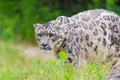 Картинка хищник, леопард, ирбис, снежный барс