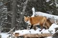 Картинка лес, снег, деревья, хищник, лиса, рыжая, лисица