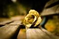 Картинка цветок, роза, золотой
