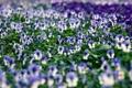 Картинка цветы, анютины глазки, цветут, лето
