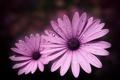 Картинка цветок, цветы, роса, розовая, лепестки, капельки воды, Маргаритка
