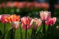 Картинка тюльпаны, ряд, бутоны